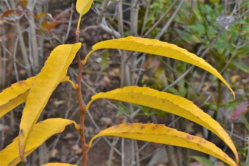 栗の木の紅葉