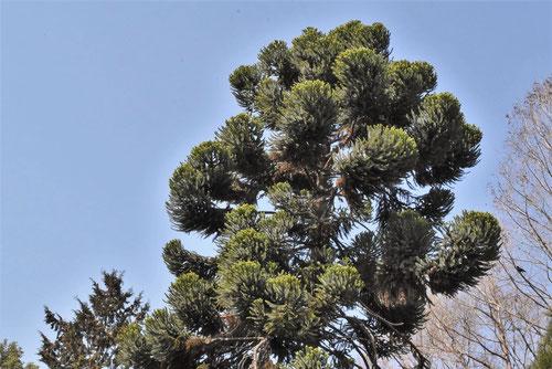 ブラジル松の木