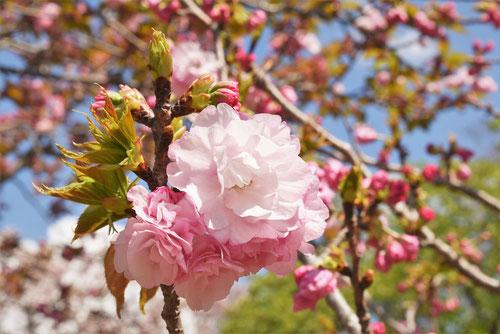 ようきひ,桜の種類
