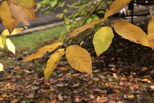 タムシバの紅葉,たむしば