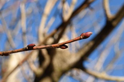 信濃,木,特徴,しなのき