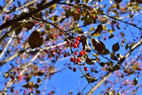 Japanese cornel dogwood,fruits