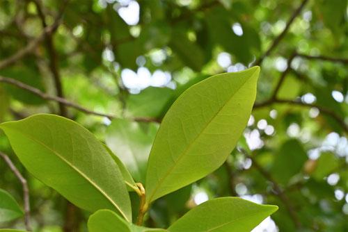 バナナの香りのする花の木