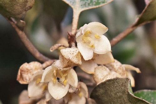 オオバグミの花