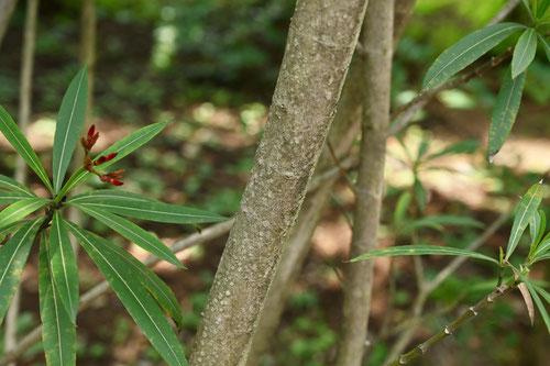 夾竹桃,茎