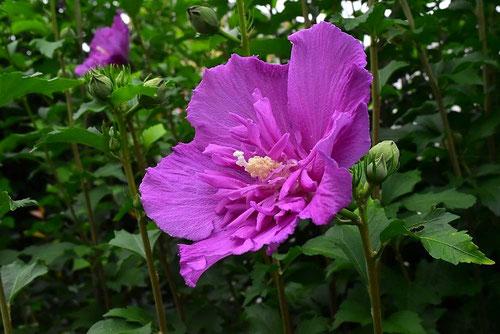 紅紫色の花 木槿