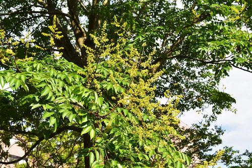 オオモクゲンジの花,おおもくげんじ,黄色
