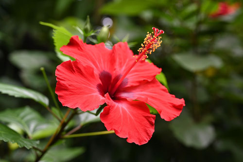 ぶっそうげ,赤花