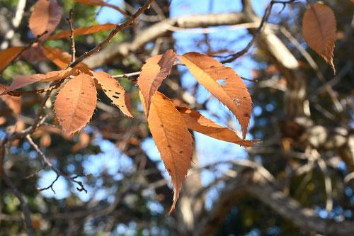 栗の葉っぱ,枯れる,画像