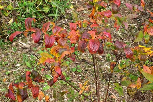 シモツケ 紅葉 黄葉