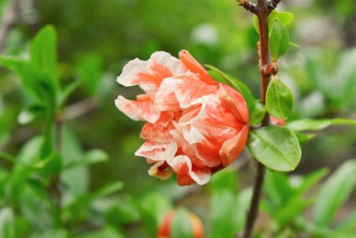 ザクロ,花の種類