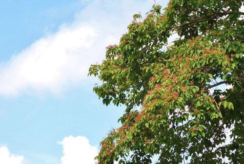 Large leaf dogwood,fruits