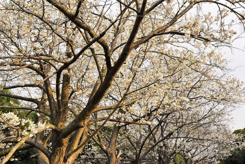 大島桜 樹形