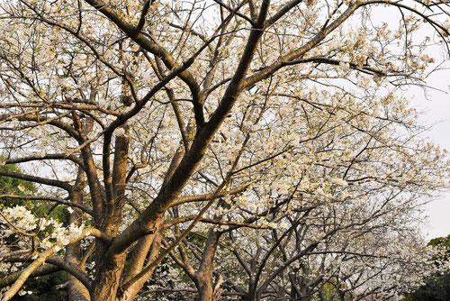 大島桜,樹形