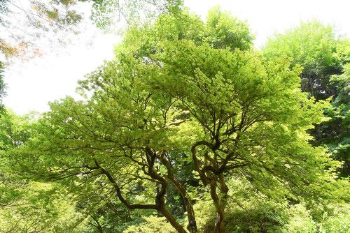 シロヤシオの木,画像