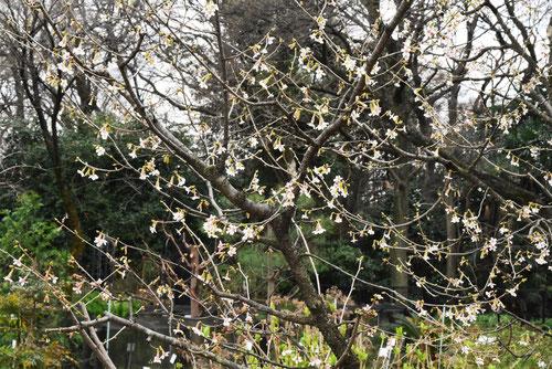チョウジザクラ,樹木,ちょうじざくら