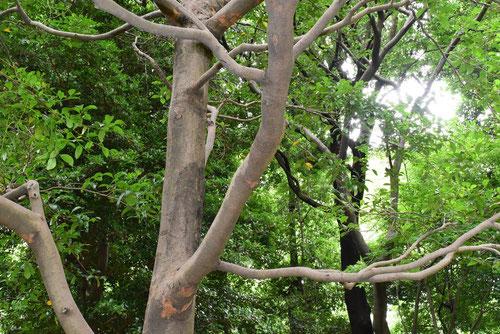 いすのき 庭木図鑑 画像
