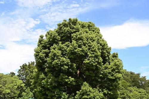 Japanese cinnamon tree