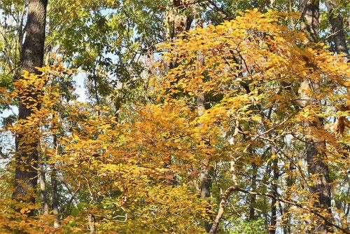 山胡椒の木,紅葉