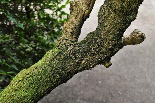 コムラサキ,こむらさき,樹皮