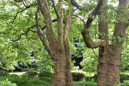古代ギリシャの哲学者はプラタナスの木の下で講義をしたという・・・