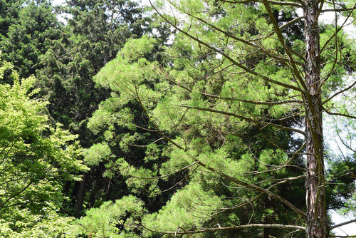 chinese swamp cypress