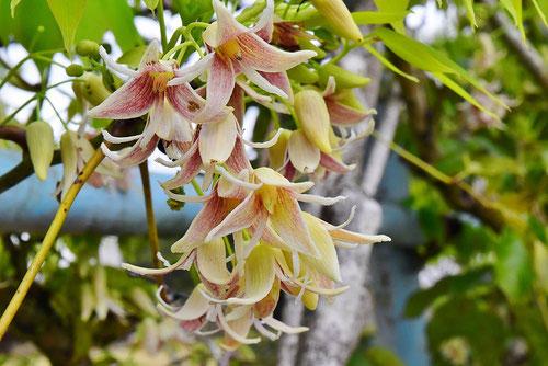 郁子の花,むべ