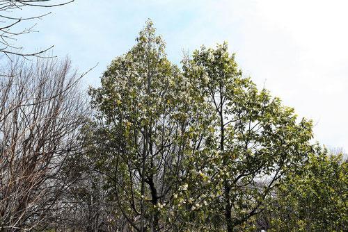 タイサンボクに似た木