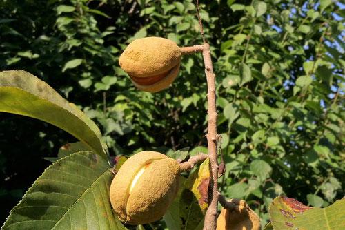 西洋栃ノ木の果実