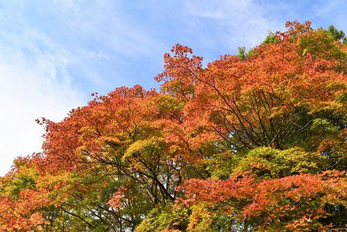 山もみじの木,紅葉