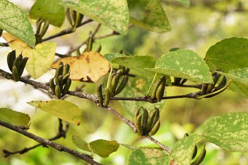 カツラの果実,種子,樹木