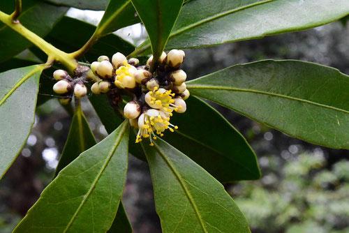 クロキ 樹木 花