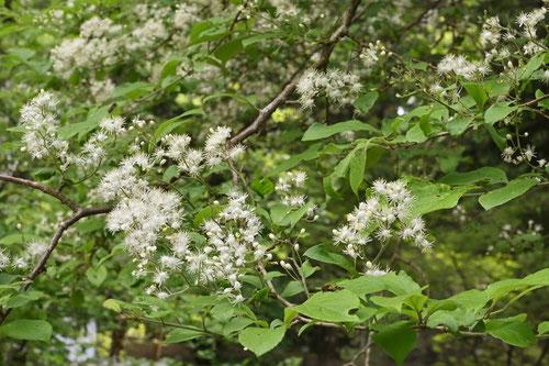 Smooth oriental photinia,flower