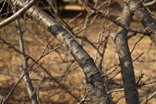 ようきひざくらの木