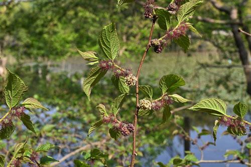 コウゾの木の花