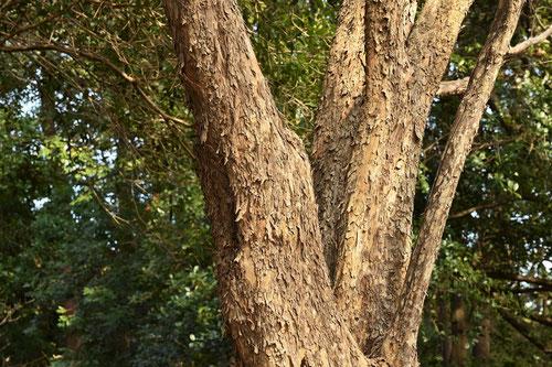 山茱萸の幹 画像