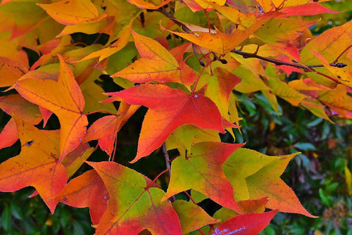 タイワンフウ 紅葉