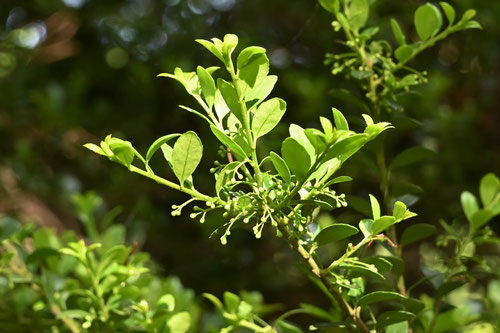 イヌツゲの木のツボミ