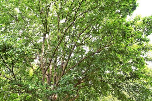 むくのき 樹木
