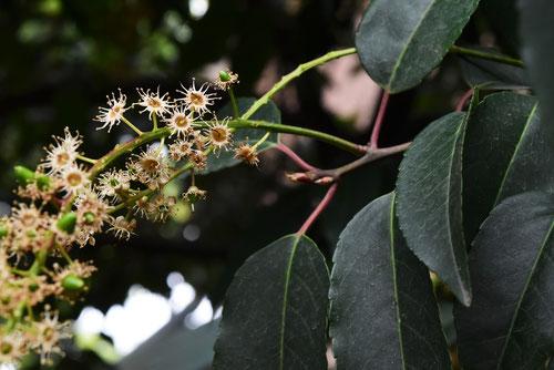 くろばいの木,花