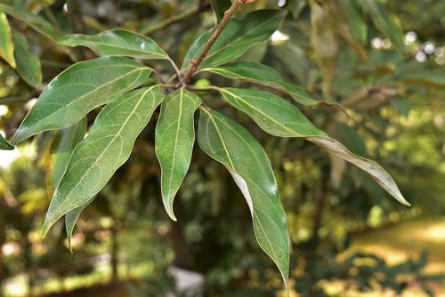 シロダモの葉っぱ 画像