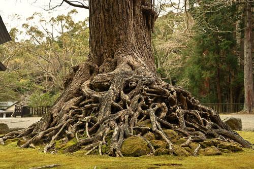 イチョウの木の根っこ,御神木