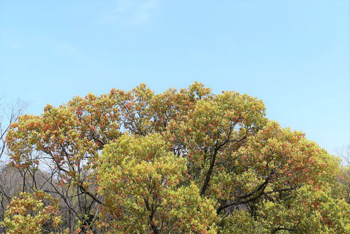 樟 樹木図鑑