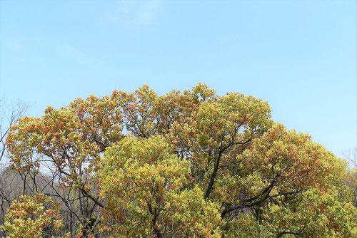 樟,くすのき,樹木図鑑