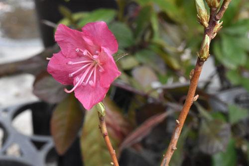 種類,花の色
