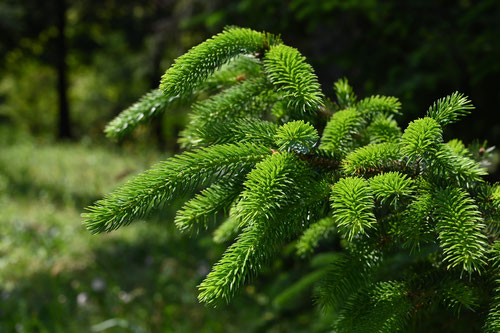 蝦夷松の木