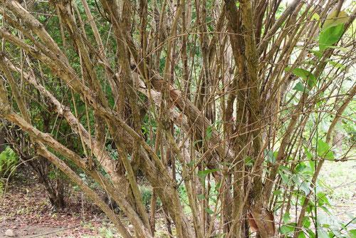 ウツギの木,剪定