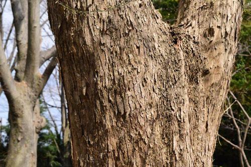 Trident maple,trunk