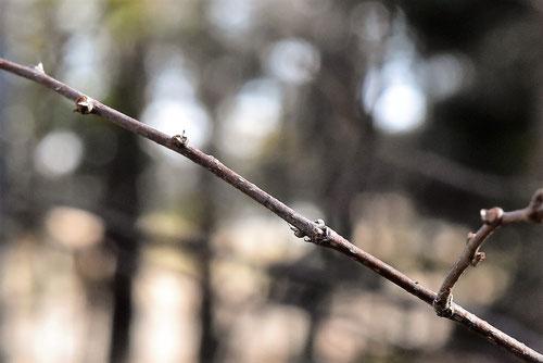 nekonotiti,tree
