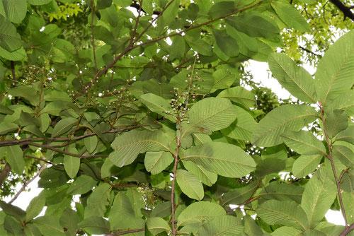 アワブキ 樹木 葉っぱ